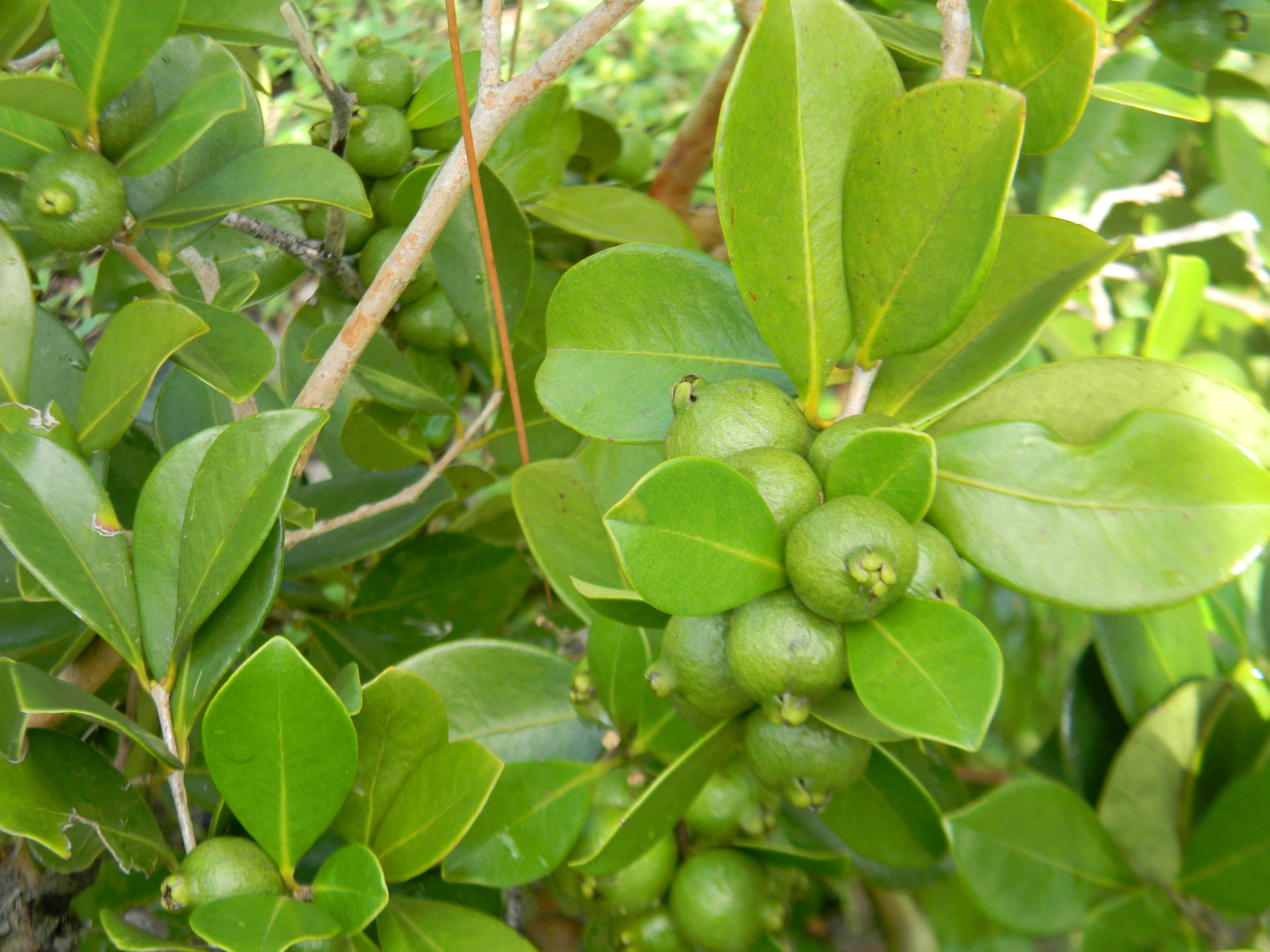 guava fruit In this section, we list all the nutrients and benefits of guava during pregnancy.