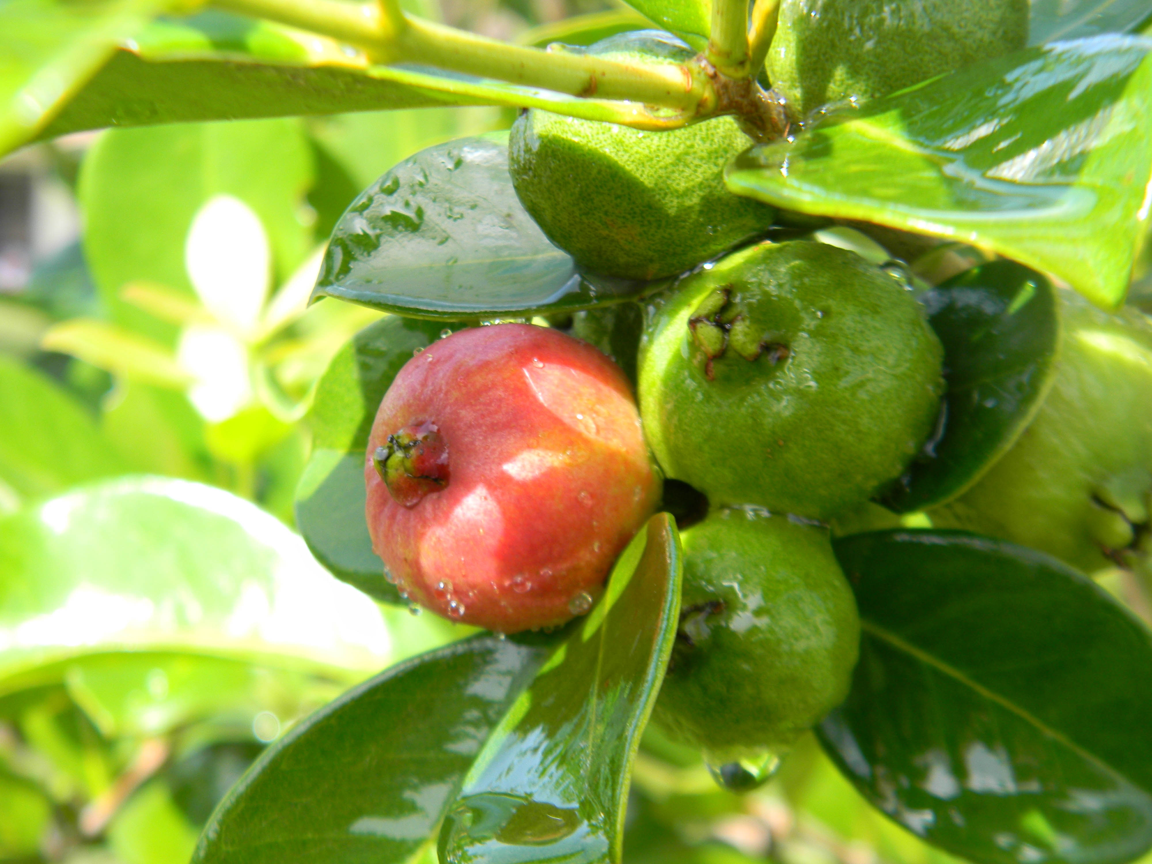 How to Plant Guava Tree