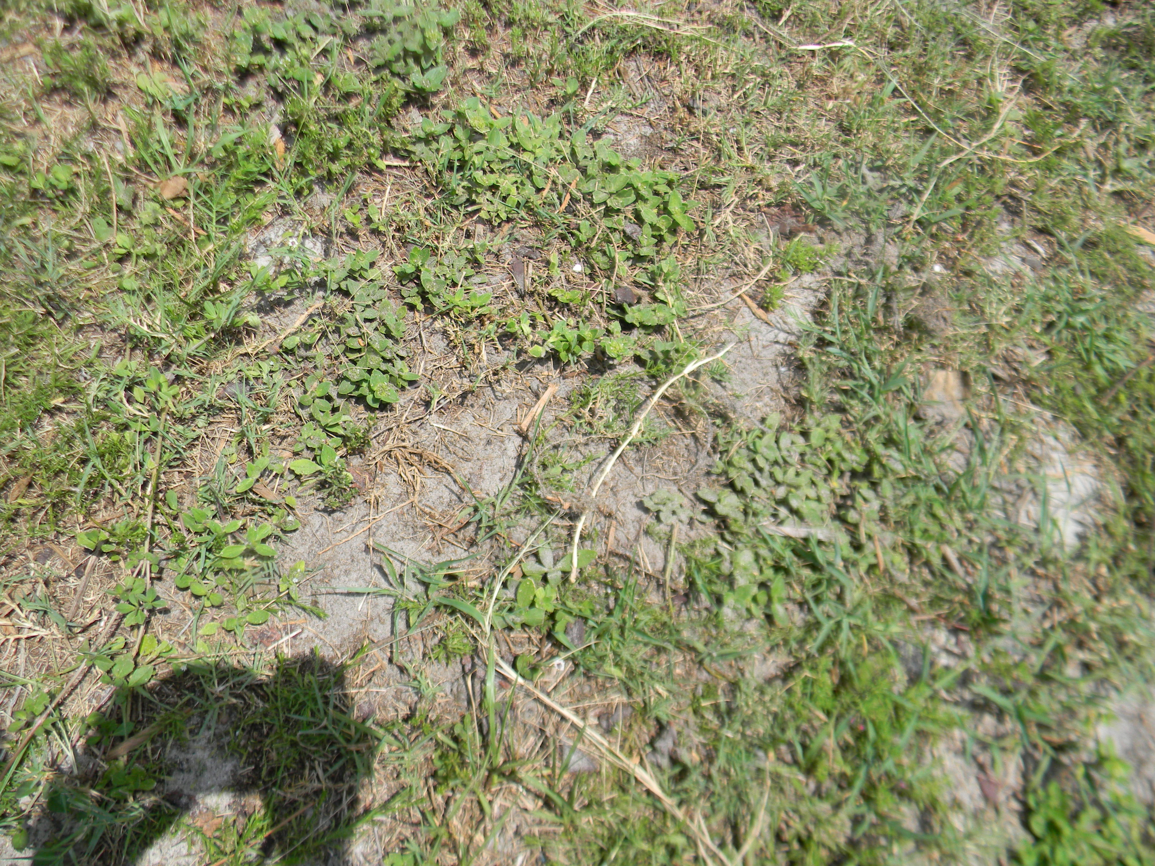 Landscaping With Bermuda Grass : Lawn weeds oklahoma submited images