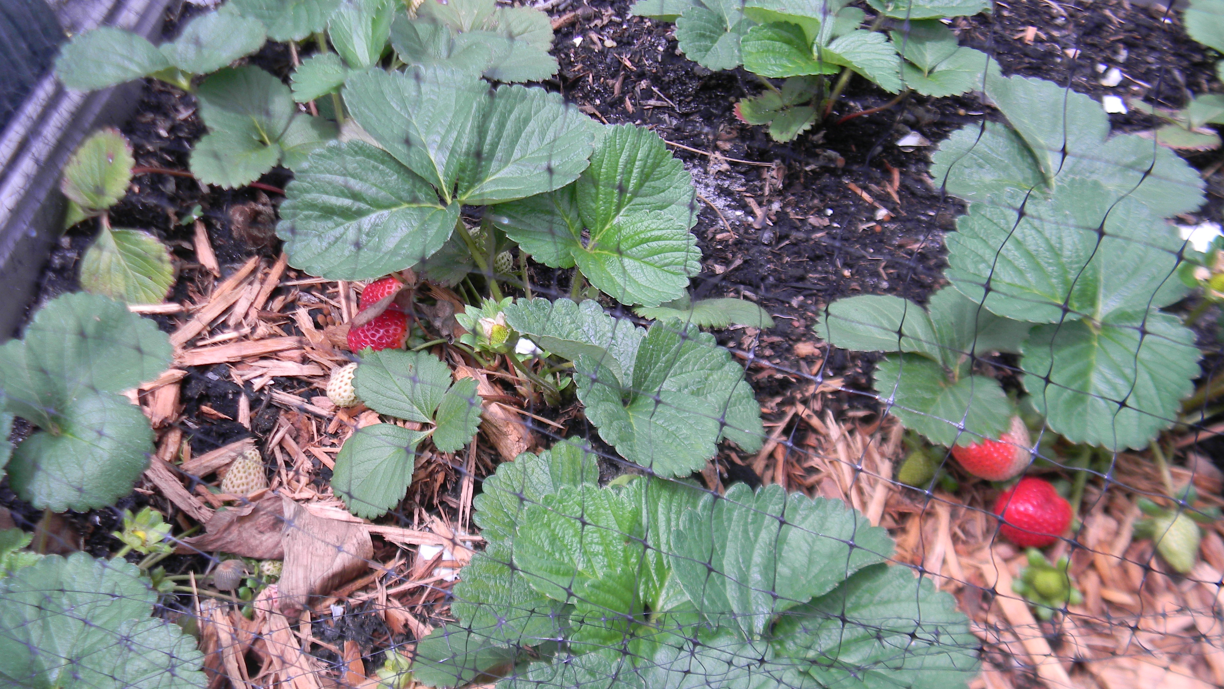 My strawberries quinault lifewithkeo - Plant strawberries spring ...