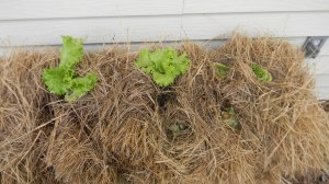 Lettuce that reseeded itself and replanted in hay bale along with regrowing celery and kale