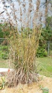 Mama lemongrass plant