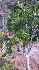 Orange tree coming back after freeze 2 years ago