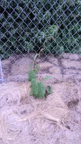 Kiwi Vine