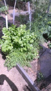 Celery and carrot tops