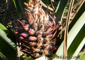 One of 6 Pineapples coming up.