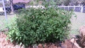 Tomatoes grown in hay bales.