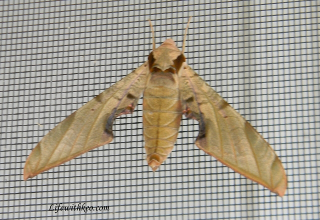 Spinx moth