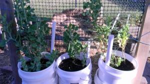 Pea buckets
