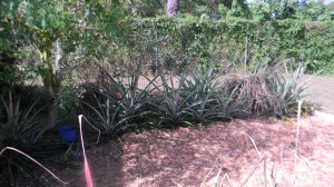 pineapple plants