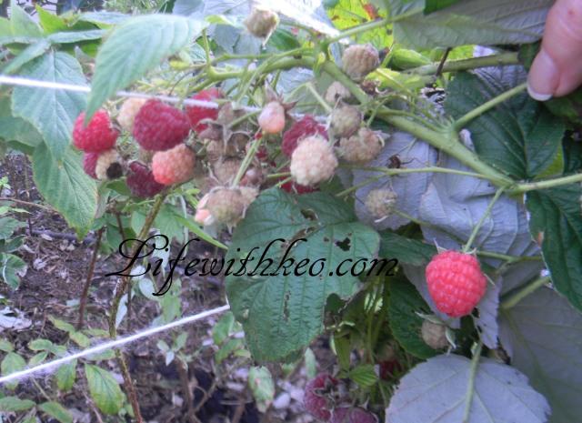 raspberries 12-1-15
