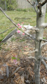 Apple Blossoms, Golden Dorsette