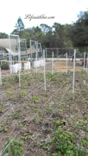 PVC and wire rows for raspberries