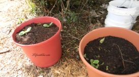 Zucchini in 2 pots